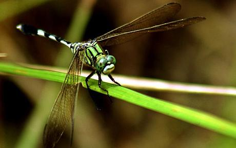 INDIA dragonfly