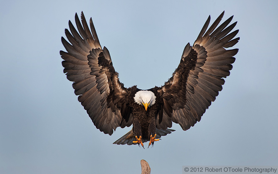 the eagle landing by - photo #4