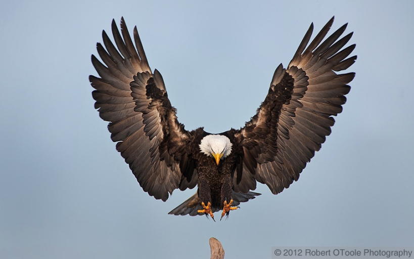 #1Eagle_landing_wings_up_2012_Robert_OToole_Photography_D